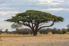 Camel thorn tree under a cloudy sky Royalty Free Stock Photography