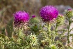 Camel thorns ; Silybum marianum Milk thistle wild plant.  royalty free stock image
