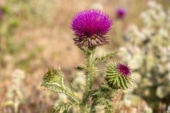 Camel thorns ; Silybum marianum Milk thistle wild plant.  stock photography