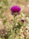 Camel thorns ; Silybum marianum Milk thistle wild plant.  stock photo