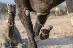 Camel with a tied foot in desert Thar during Pushkar Camel Fair, Rajasthan, India. Close up royalty free stock photography