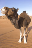 Camel tied up in the desert Royalty Free Stock Photography