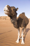 Camel tied up in the desert Stock Image