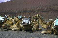 Camel in Timanfaya National Park. Stock Photography