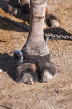 Camel Toes. Camel legs and toes on te ground stock image