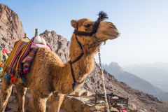 Camel. A camel on top of mount sinai Royalty Free Stock Images