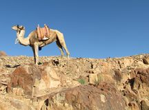 camel on top of the mountain Stock Photography