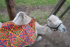 Camel top view lies on grass Royalty Free Stock Photo