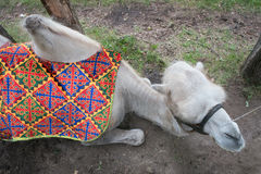 Camel top view lies on grass Royalty Free Stock Photos