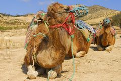 Camel tour. Group of camels in tour for Tunisian land Stock Images