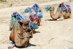 Camel tour Royalty Free Stock Photography