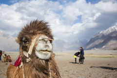 The camel with the tourist moment. Royalty Free Stock Images
