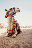 Camel for tourist trips is in the sand on the beach in Egypt Stock Photos
