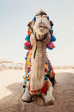 Camel for tourist trips is in the sand on the beach in Egypt Royalty Free Stock Photos