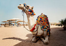 Camel for tourist trips is in the sand on the beach in Egypt Royalty Free Stock Photo