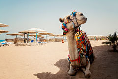 Camel for tourist trips is in the sand on the beach in Egypt Stock Image