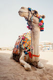 Camel for tourist trips is in the sand on the beach in Egypt Stock Photo