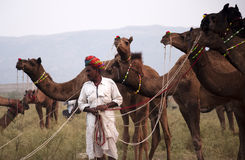 The camel trader with his camels. Camel trader of Pushkar, Rajasthan, India with his camels standing on the fair ground Stock Photos