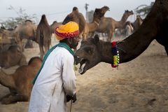 Camel trader in pushkar camel fair. Unidentified person and a trader in pushkar camel tradee fair in rajasthan, india on november 2015 Royalty Free Stock Images
