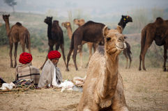 The camel traders with the camels. Camel traders of Pushkar, Rajasthan, India wearing red turbans sitting on the fair ground Royalty Free Stock Image
