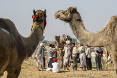 Camel Traders Royalty Free Stock Images