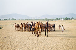Camel Fair, Pushkar India Royalty Free Stock Image