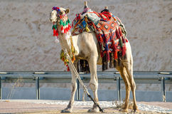 Camel traditional. Camel in traditional Bedouin robes Royalty Free Stock Images