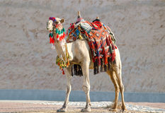 Camel in traditional Bedouin robes Stock Images