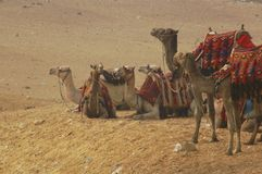 Camel train. Camel tourist train in desert outside of pyramids Royalty Free Stock Photography