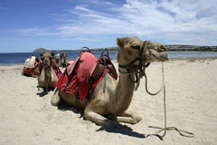 Camel Train Stock Image