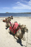 Camel Train  Stock Photo