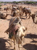 Camel Train. Camels waiting and resting Etihopia Royalty Free Stock Photo