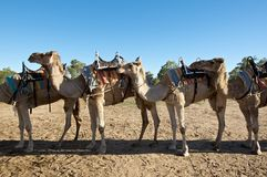 Camel train. Camels tied up in line Stock Photography