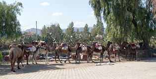 Camel train resting Stock Image