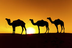 Camel train on sand dunes. Royalty Free Stock Image