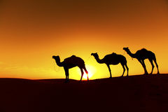 Camel train Silhouette. Royalty Free Stock Images