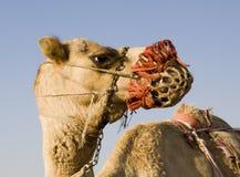 Camel Training Stock Photo