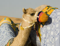 Camel Training. Young racing camel attached to older camel by a lease Royalty Free Stock Photos