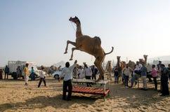 Camel training at pushkar camel fair rajasthan india