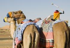 Camel Training - The Team and Jockey. Racing Camel Team with a mechanical jockey Stock Photo