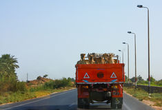 Camel Transport. On the road to Alexandria, Egypt Royalty Free Stock Images