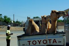 Camel Transport Stock Image