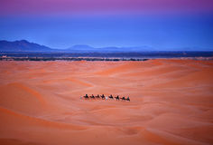 Camel trekking in Western Sahara, Morocco Stock Photography