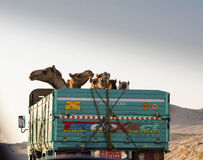 Camel truck. A truck transporting camels, somewhere near Hurghada Royalty Free Stock Photos
