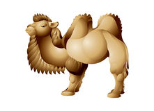 Camel with two humps, Bactrian Stock Image