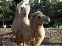 Camel with two humps in the zoo stock image