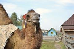 Camel with Ukrainian flag on him Royalty Free Stock Photo