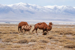 The camel under the snow Royalty Free Stock Photos