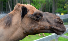 Camel. Is an ungulate within the genus us, bearing distinctive fatty deposits known as humps on its back. There are 2 species of s: the dromedary l has a 1 hump Royalty Free Stock Images
