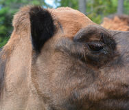 Camel. Is an ungulate within the genus us, bearing distinctive fatty deposits known as humps on its back. There are 2 species of s: the dromedary l has a 1 hump Stock Image